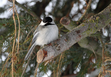 Black-capped Chicadee